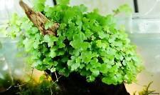 PIANTA PIANTE VERA  ACQUARIO HYDROCOTYLE TRIPARTITA JAPAN LIVE AQUARIUM PLANT !