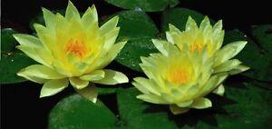 hübsche kleine gelbe Seerose - klein aber duftintensiv / winterhart ! Samen ....