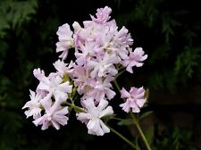 . Aus der Seifenblume wird auch heute noch Seife hergestellt, für Allergiker gut