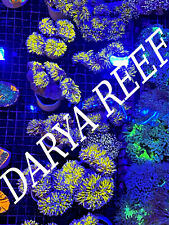 Aussie Gold Torch Aquaculture 1H Euphyllia Live Coral Free Overnight Shipping