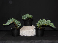 40  Japanese Dwarf Juniper Pre  Bonsai Tree