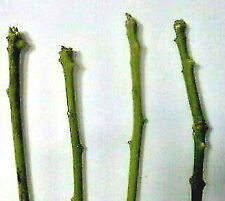 """*Growing Avocado Trees from Cuttings* """"Fuerte Scion"""" 5 Pcs"""