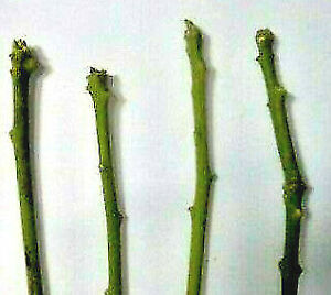 """*****Growing Avocado Trees from Cuttings****** """"HASS Scion"""" 5 PCS"""