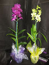 BIN- 2 Blooming/Budded Dendrobium Orchid Plants- Long lasting- A gift of Aloha!