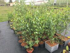 Hängebirke (Betula pendula 'Tristis'), Baum, Rarität, Jungpflanze ca. 70 cm