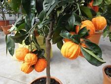 Citrus Arancio Corrugato Orangenbaum Pomeranze robust Marmelade 70 - 80 cm