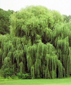 2 Golden Weeping Willow Trees - Ready to Plant - Live Plants - Beautiful Arching