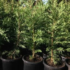 LEIGHTON GREEN CONIFER 1.8 - 2mt high in 330mm pot Tree Plant Hedge Screen