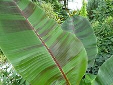 10 Seeds-  Musa sikkimensis 'Red Tiger' - Darjeeling Banana Plant