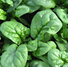 Spinach seed  Bloomsdale  heirloom NON-GMO 50 seeds salad vegetable greens