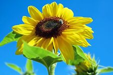 Sonnenblumen Mischung verschiedener Sorten und Farben  60 Samen