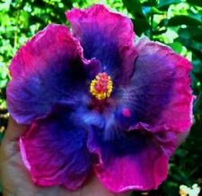 20 Blue Pink Hibiscus Seeds Perennial Seed Flowers Flower Tropical Hardy 2-241
