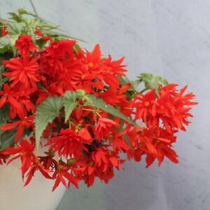 Begonia Seeds Funky Orange 15 Pelleted Seed