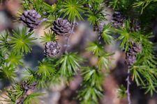 Larch Olginskaya (Larix olgensis) 50 seeds