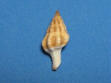 """Fusinus pearsoni (Snyder,2002) """"DEEP WATER SPINDLE: CARAMEL VARIANT"""" (30.1mm)"""