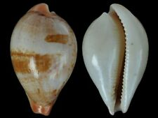 Cypraea hirasei - Shells from all over the World