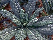 50 Seeds LACINATO aka Dinosaur KALE Black Tuscany Nero di Toscana RARE forage