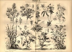 1897  Antica Stampa = PIANTE VELENOSE = Botanica = Old Print