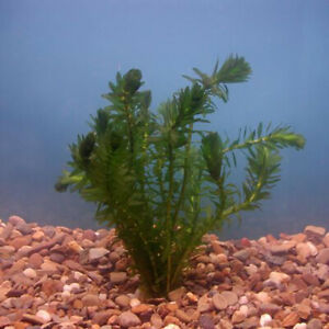 Weighted Elodea Densa Live Water Plant Oxygenating for Aquarium Fish Tank