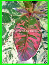 """New Plumeria with rooted """"Ploy Chom Phu"""" Super Beautiful Leaf variegated Rare@"""