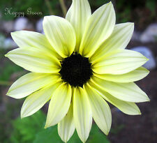 SUNFLOWER - VANILLA ICE - 60 SEEDS - Helianthus debilis