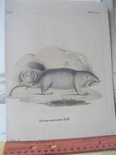 Vintage Print,ASCOMYS MEXICANUS,Licht,Early