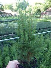 Halbschatten-Strauchpflanzen für gemäßigtes Klima (bis -30 ° C) -34 4