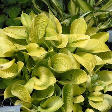 Rare Maui Buttercups Hosta Beautiful Live Perennial Flowering Hosta