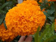200 Samen ,Tagetes erecta Antigua Orange , Studentenblumen Riesen Blumen