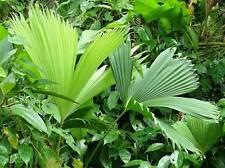 12 Semillas Pita Tropical - CARLUDOVICA PALMATA - Rara Palma Casa Jardin Plantas