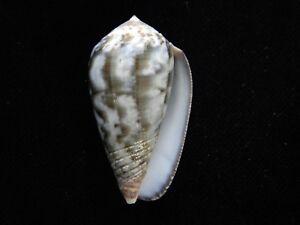 Sea Shells Conus achatinus 42.8mm ID#3918B