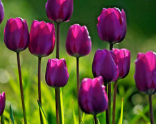 50 Tulip 'Purple Flag' Triumph TULIPS Spring Flowering Bulbs Flowering Guarantee