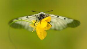 Meadow Buttercup Seeds - Ranunculus Acris, Bee Friendly, Wildflower, Wild Flower