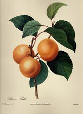 Vintage Redoute Botanical Fruit Print Apricot Print Kitchen Decor pjr 2261