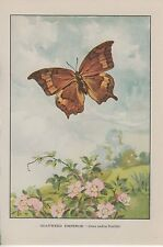 "1917 Vintage BUTTERFLIES ""GOATWEED EMPEROR"" BUTTERFLY COLOR Art Plate Lithograph"