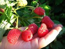 "Raspberry macrocarpa ""ABUNDANCE"" Seeds Berries Seed from Ukraine"