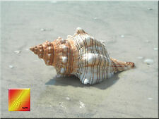 One Genuine Striped Fox Conch Seashell Sea Shell Display Beach Wedding Decor