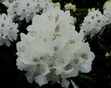 Rhododendron großblumige Hybride Schneebukett 30-40cm Frühlingsblüher