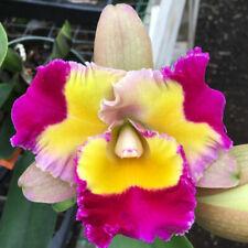 """Rlc Volcano Splash 'Volcano Queen' Cattleya Orchid Plant 3"""" Pot"""