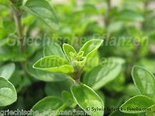 Majoran 100 graines HERBES + Plante Aromatique pluriannuel méditerranéen