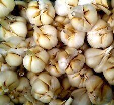 ELEPHANT GARLIC CLOVES , CORMS, BULBS, SEEDS  Elefantenknoblauch Zehen