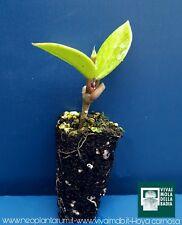 HOYA CARNOSA Alveolino 1 Pianta 1 Plant porcelainflower Fiore di cera