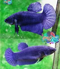 LIVE BETTA FISH PAIR M/F SUPER ROYAL BLUE SOLID COLOR HMPK READY TO BREED SBlu3