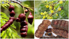Acacia concinna 30 seed Tree Shikakai fruit traditional hair shampoo lose weight