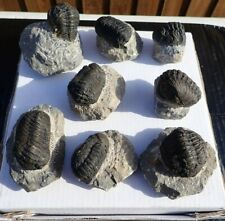 More details for phacops trilobites from morocco