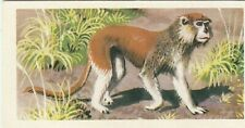 Weeping monkey erythrocebus patas monkey west Africa mammals ape image card 60s