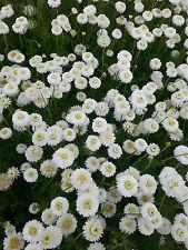 Gefülltblühende Scheinkamille Chamaemelum nobile Plenum Frühlingsblüher