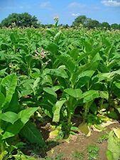 1000 Graines Tabac de Virginie