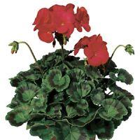 15 Seeds Geranium Zonal Ringo 2000 Deep Red Geranium Seeds