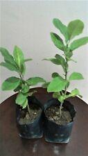 Anak Pokok Lemon / Lemon tree